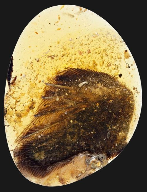 dinosaur-wings-amber-99-million-years_4