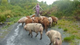 Pigs_Unearth_Earliest_Evidence_Humans_ Islay_Scotland