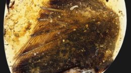 dinosaur-wings-amber-99-million-years_1