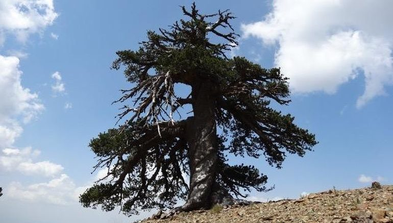 europe-oldest-living-tree-discovered_1