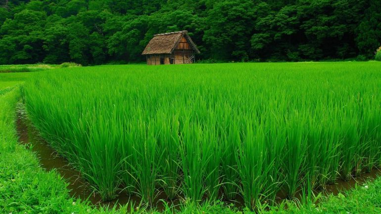 rice-domesticated-10000-years-china_1