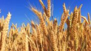 wheat farming-romans-research