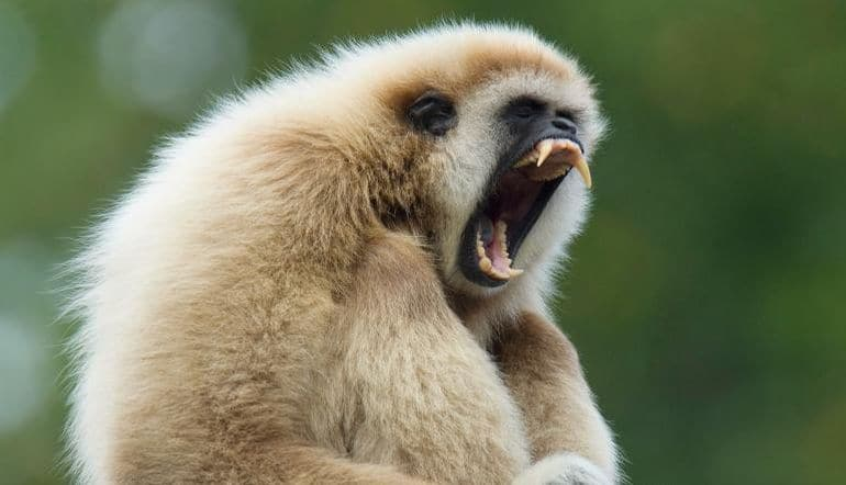 Remains Of Extinct Gibbon Species Found Inside Ancient Tomb In China